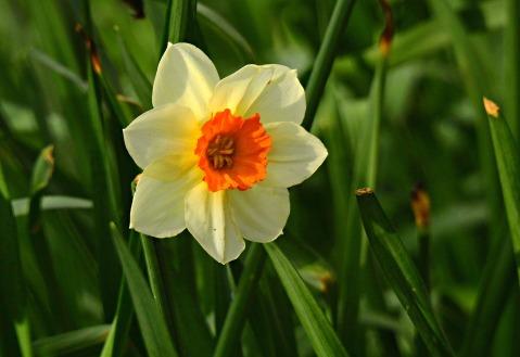 daffodil-4930263_1920